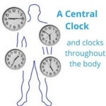 Circadian clocks need to sync with eating and lifestyle for good health